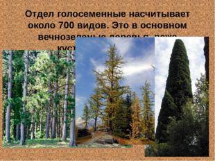 Отдел голосеменные насчитывает около 700 видов. Это в основном вечнозеленые д