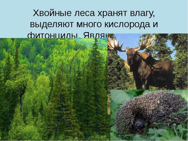 Хвойные леса хранят влагу, выделяют много кислорода и фитонциды. Являются мес...