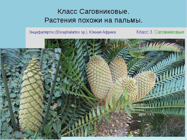 Класс Саговниковые. Растения похожи на пальмы.