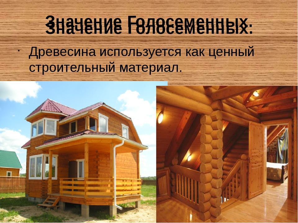 Значение Голосеменных. Древесина используется как ценный строительный материа...