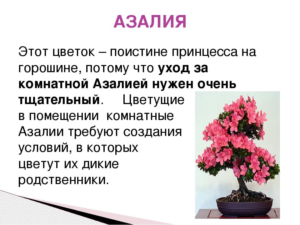 АЗАЛИЯ Этот цветок – поистине принцесса на горошине, потому чтоуход за комна...