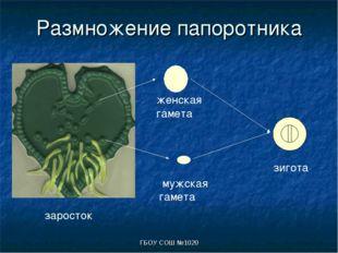 ГБОУ СОШ №1020 Размножение папоротника заросток мужская гамета женская гамета