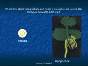 ГБОУ СОШ №1020 Из зиготы образуется небольшой побег и придаточные корни. Это