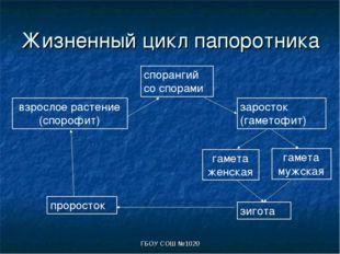 ГБОУ СОШ №1020 Жизненный цикл папоротника взрослое растение (спорофит) споран