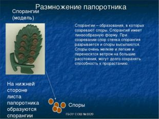 ГБОУ СОШ №1020 Размножение папоротника На нижней стороне листа папоротника об