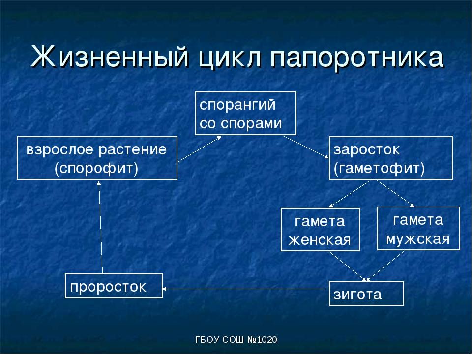 ГБОУ СОШ №1020 Жизненный цикл папоротника взрослое растение (спорофит) споран...