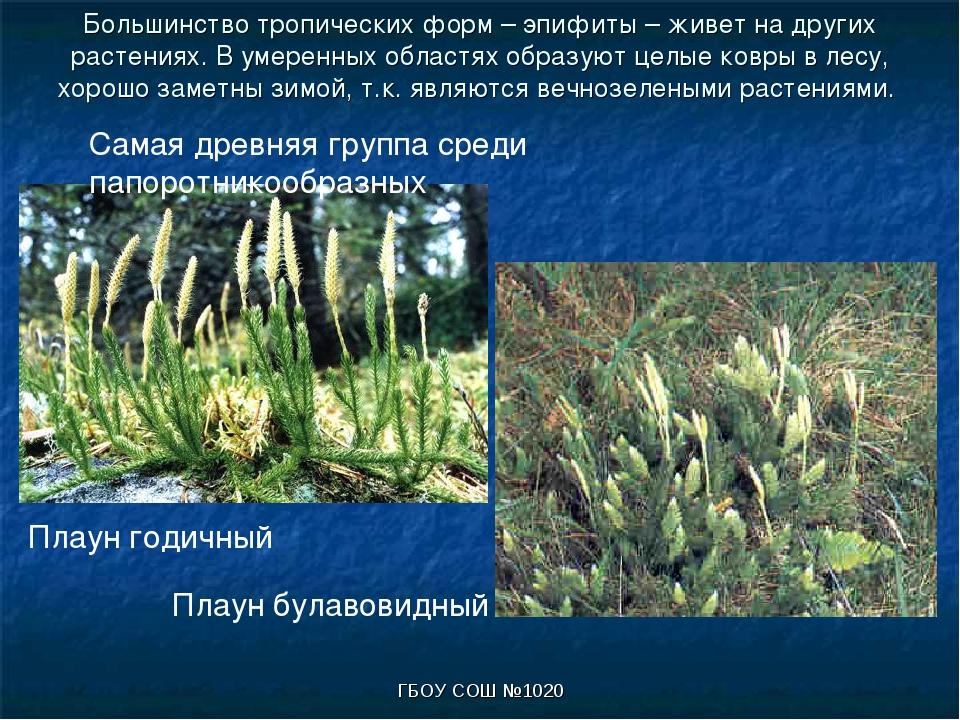 ГБОУ СОШ №1020 Большинство тропических форм – эпифиты – живет на других расте...