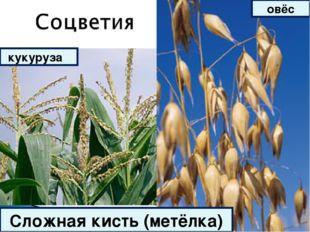 Сложная кисть (метёлка) кукуруза овёс
