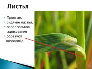 Простые, сидячие листья, параллельное жилкование образуют влагалище