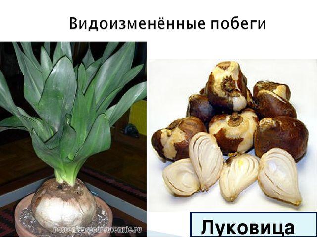 Луковица