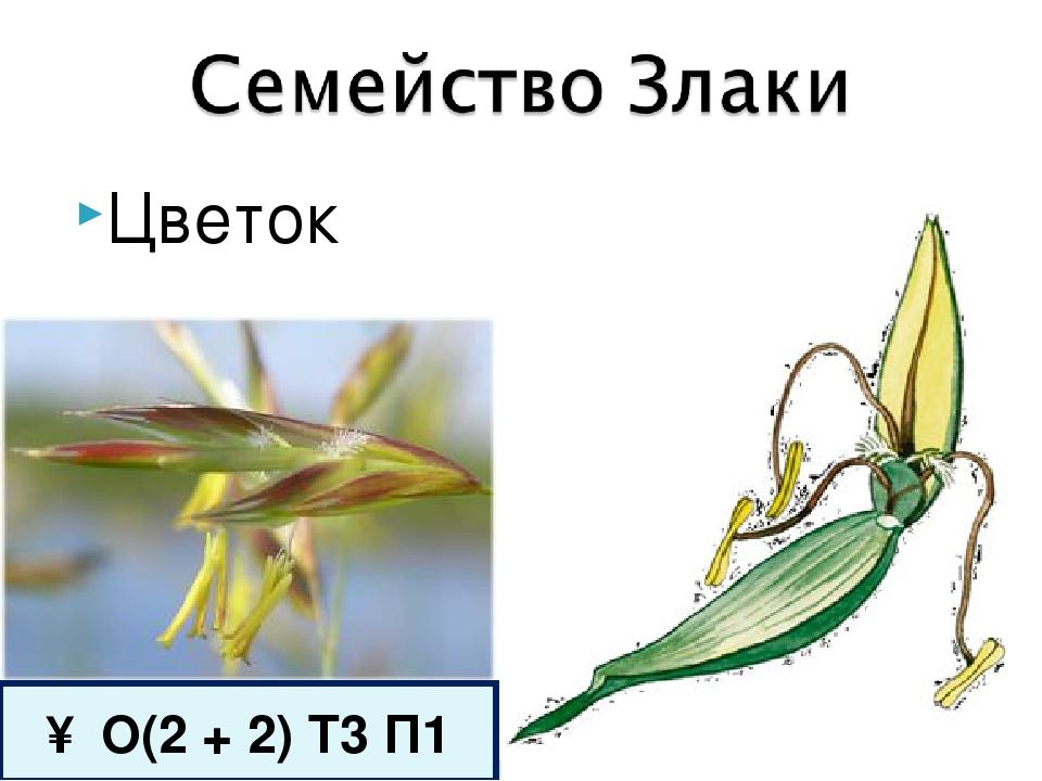 Цветок ↑ О(2 + 2) Т3 П1