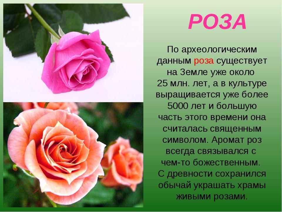 РОЗА По археологическим данным роза существует на Земле уже около 25 млн. лет...