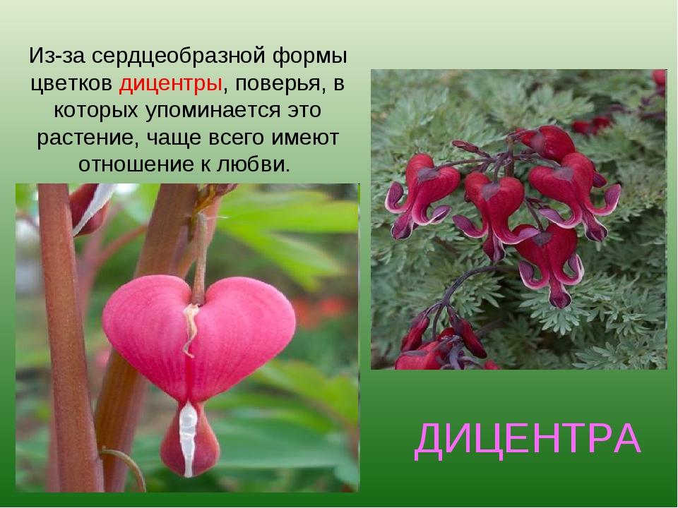 ДИЦЕНТРА Из-за сердцеобразной формы цветков дицентры, поверья, в которых упом...