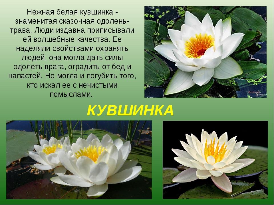 КУВШИНКА Нежная белая кувшинка - знаменитая сказочная одолень-трава. Люди изд...
