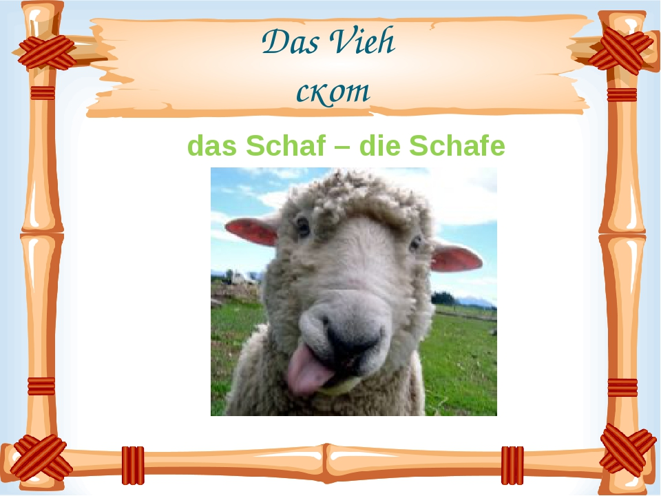 Das Vieh скот das Schaf – die Schafe