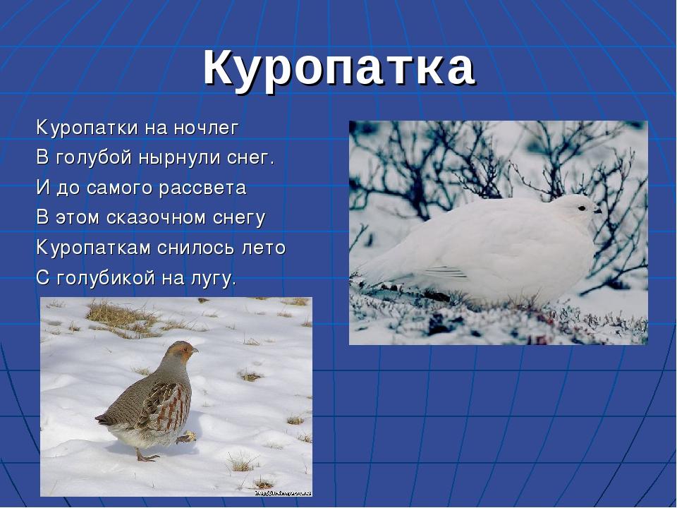 Куропатка Куропатки на ночлег В голубой нырнули снег. И до самого рассвета В...