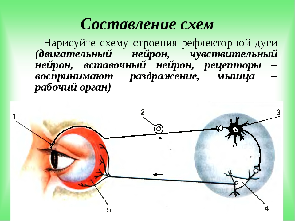 Составление схем Нарисуйте схему строения рефлекторной дуги (двигательный ней...