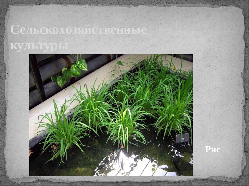 Сельскохозяйственные культуры Рис