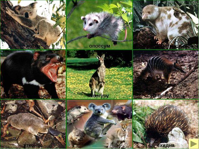 Реликты Реликтовые формы – это ныне живущие виды с комплексом признаков, хара...