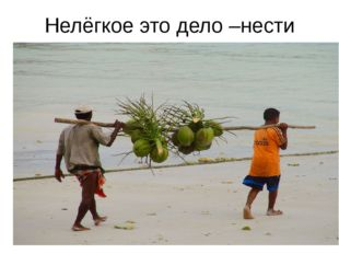 Нелёгкое это дело –нести кокосы