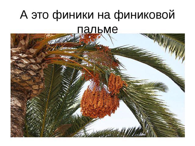 А это финики на финиковой пальме