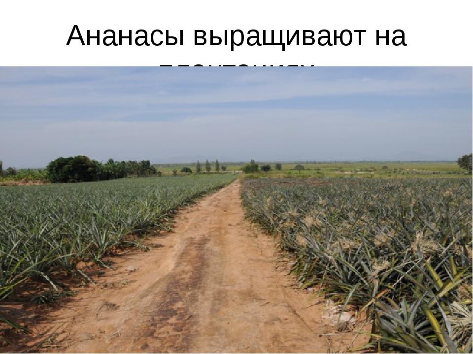 Ананасы выращивают на плантациях