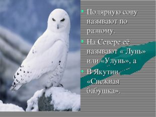 Полярную сову называют по разному. На Севере её называют « Лунь» или «Улунь»,