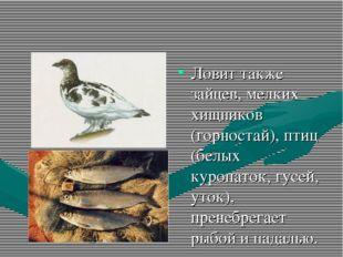 Ловит также зайцев, мелких хищников (горностай), птиц (белых куропаток, гусей