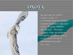 ОХОТА. Белая сова не строго ночная птица, её охотничьи вылеты обычно падают н