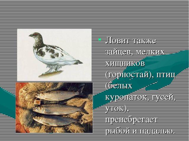 Ловит также зайцев, мелких хищников (горностай), птиц (белых куропаток, гусей...