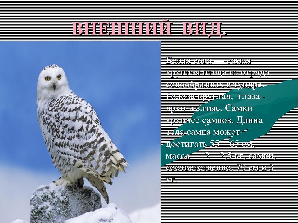 ВНЕШНИЙ ВИД. Белая сова — самая крупная птица из отряда совообразных в тундре...