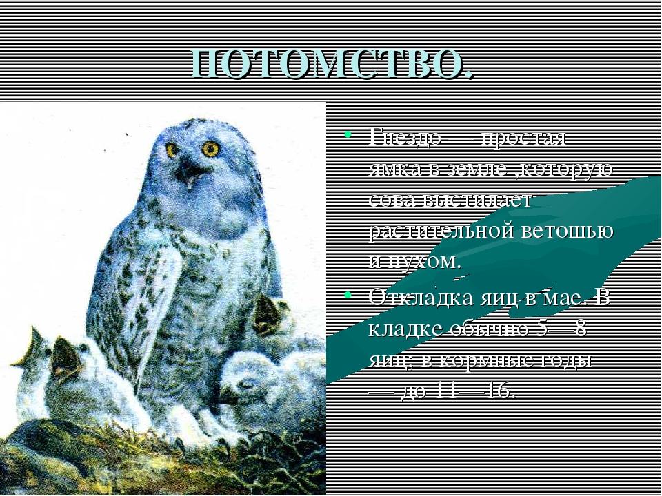 ПОТОМСТВО. Гнездо — простая ямка в земле ,которую сова выстилает растительной...