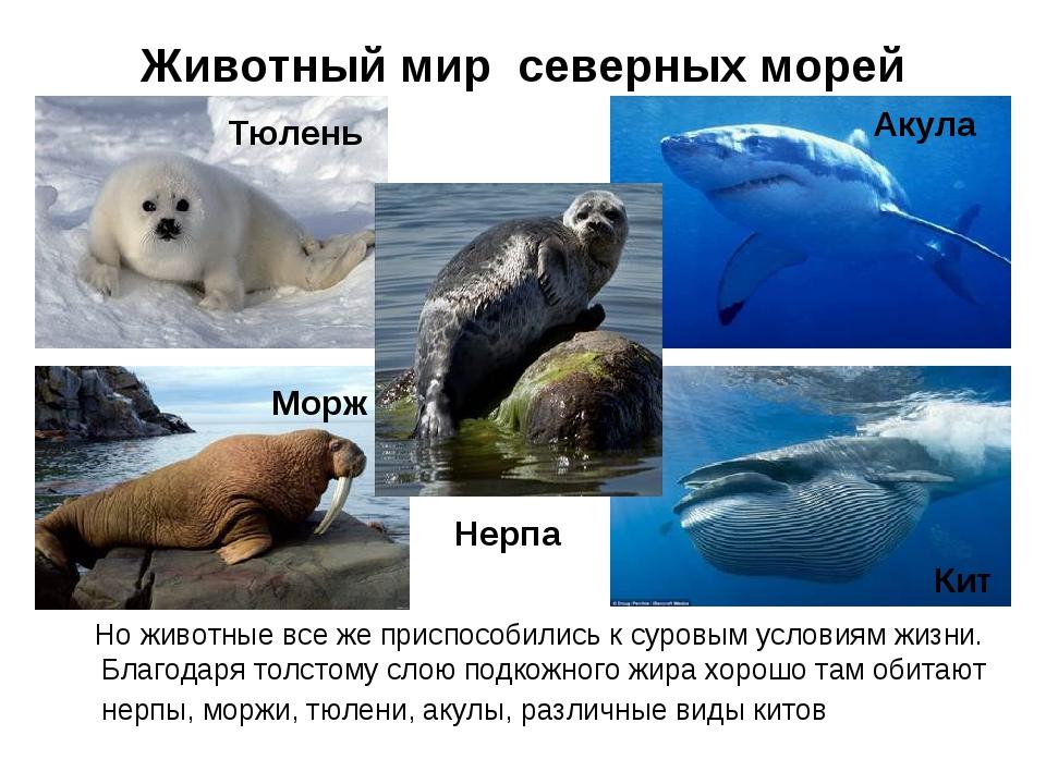Животный мир северных морей Но животные все же приспособились к суровым услов...