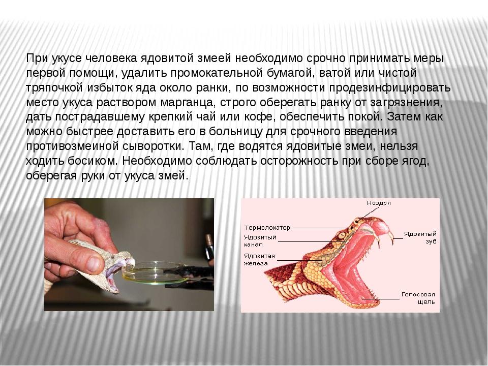При укусе человека ядовитой змеей необходимо срочно принимать меры первой пом...