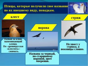 Птицы, которые получили свое название по их внешнему виду, повадкам. клест На