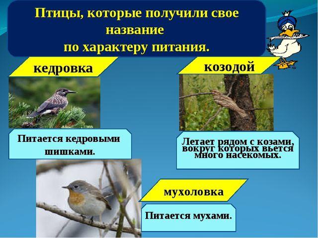 Птицы, которые получили свое название по характеру питания. кедровка Питается...