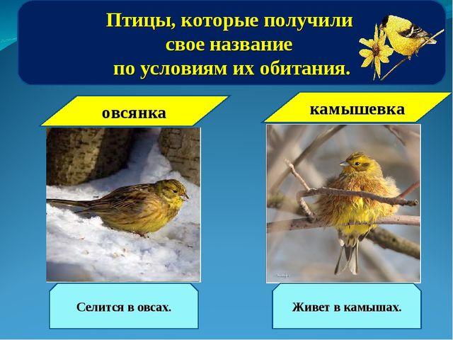 Птицы, которые получили свое название по условиям их обитания. камышевка Живе...