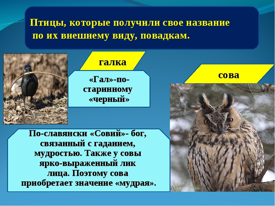Птицы, которые получили свое название по их внешнему виду, повадкам. «Гал»-по...