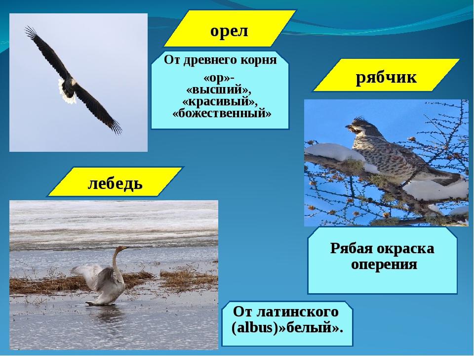 орел От древнего корня «ор»- «высший», «красивый», «божественный» лебедь От л...