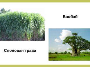 Слоновая трава Баобаб
