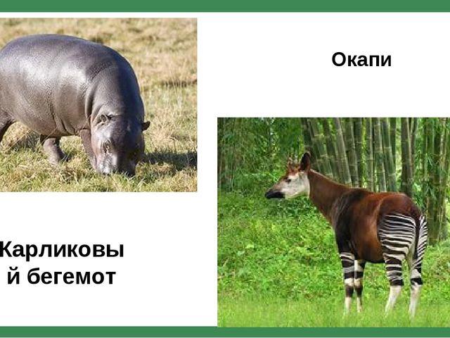 Карликовый бегемот Окапи