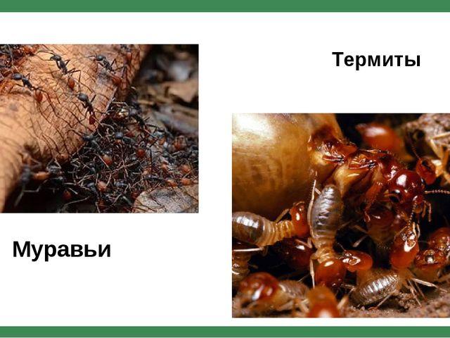 Муравьи Термиты