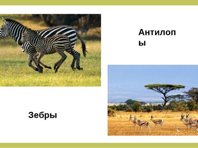 Зебры Антилопы
