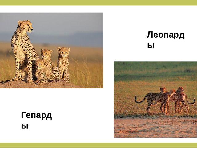 Гепарды Леопарды