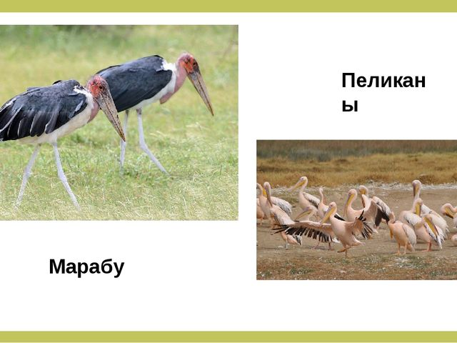 Марабу Пеликаны