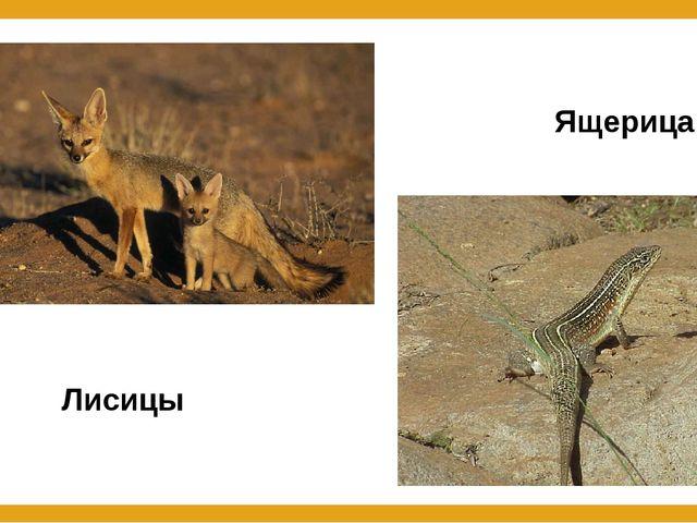 Лисицы Ящерица