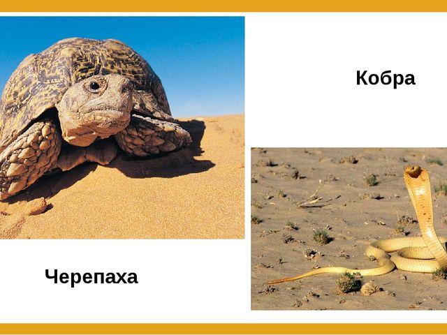 Черепаха Кобра