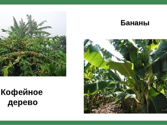 Кофейное дерево Бананы