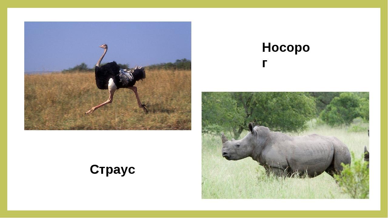 Страус Носорог