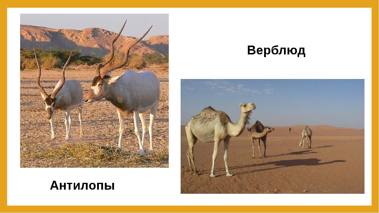 Антилопы Верблюд